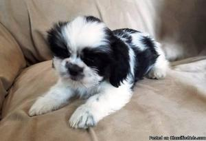 To Good Home ONLY! Chinese Imperial Shih Tzu