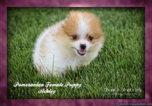Ashley: Female ACA Pomeranian