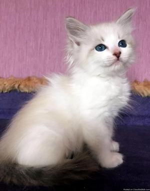 Hypoallergenic Female Siberian Kitten available for adoption