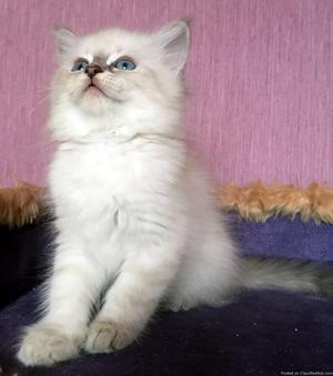 Hypoallergenic Siberian Male Kitten w/Blue Eyes