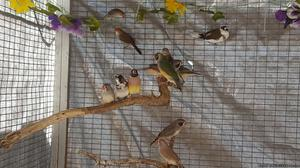 Lady Gouldian Finch for sale