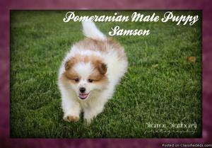 Samson: Male ACA Pomeranian