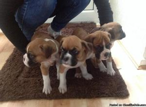 AKC Registered Male Boxer Puppy for Sale