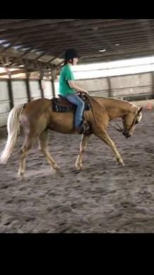 BEAUTIFUL PALOMINO Q.H. GELDING 6 YR OLD