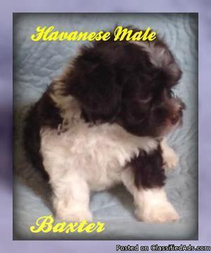Baxter: Male AKC Havanese