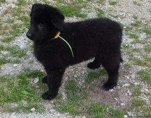 Belgian Shepherd Tervuren Puppies for Sale