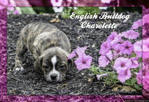 Charolette: Female English Bulldog Mix