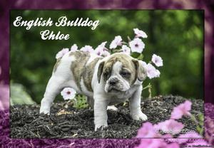 Chloe: Female English Bulldog Mix
