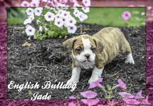 Jade: Female English Bulldog Mix