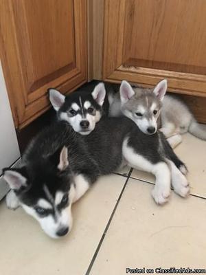 Pedigree** Siberian Husky**Puppies