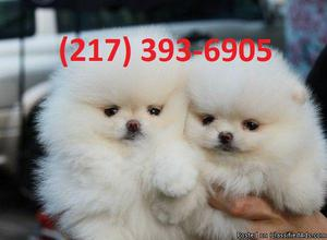 Pomeranian Puppies on for sale