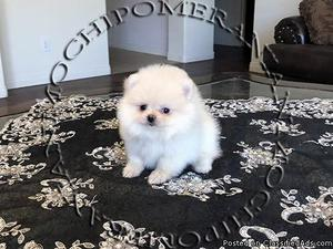 AKC Micro Teacup Female Pomeranian Puppy