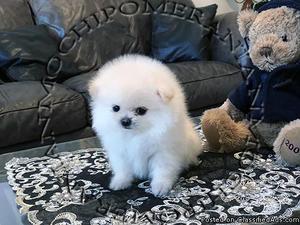 AKC Micro Teacup Male Pomeranian Puppy