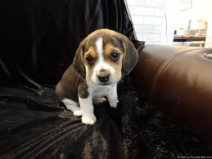 Adorable Beagle Puppies available for new homes