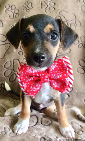 Adorable Jack Russell/Rat terrier mix