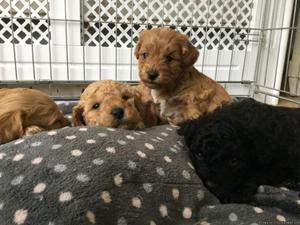 Stunning cavapoo puppies for sale