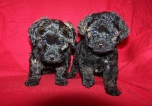aghh Adorable male and female poodle puppies For sale