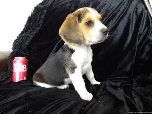 Adorable male and female Beagles puppies