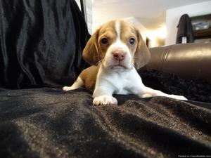 Amazing beagle puppies for new homes