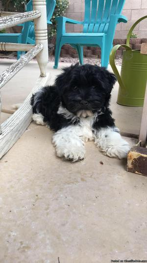 Havanese puppy for sale