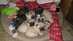 PRICELESS FRENCH BULLDOG PUPPIES READY