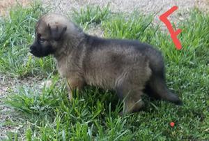 Ckc Registered Silver Sable German Shepherd puppy female