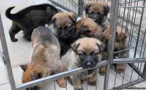 German Shepherd Puppies For Sale Text