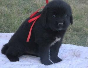 Newfoundland puppy ready for her new home!