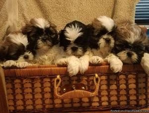 shih tzu puppies for a lovely home for more information
