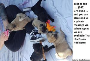 Affa-Affable Akc 4 pugs..LOVELY LITTER OF PUGS, PUPPIES FOR