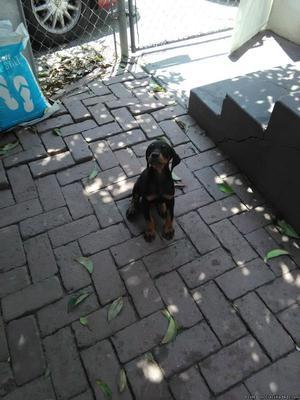 Doberman Pincher pure bred Female puppy