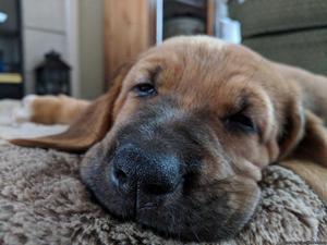 11 week old Bloodhound mix
