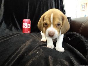 Cute male and female beagle puppies