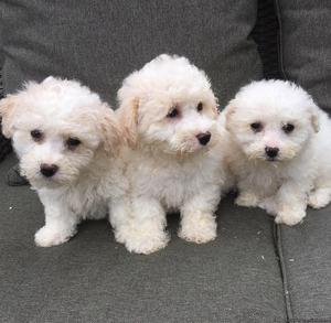 GHJG Registered Bichon Frise Puppies
