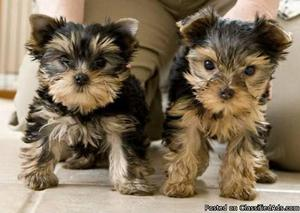 Yorkie pups ready for new homes