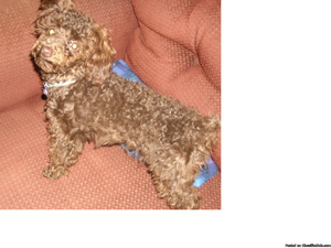6 month old female poodle 4 pounds