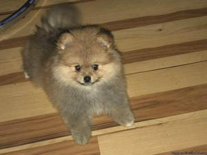 ADORABLE MALE POMERANIAN PUPPY