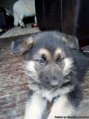 Adorable AKC German Shepherd puppy