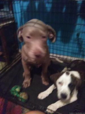 To loving home male puppy 4 months old. Pet bull mix