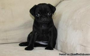 Calm Litter of Akc Pug Puppies ready to go