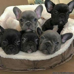 FGFHFG Remote Trained French Bulldog puppies