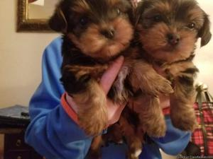 3mnths old male and female yorkie puppies available for re