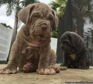 Adorable Neapolitan Mastiff Puppies For Loving Homes
