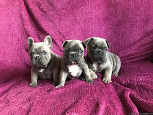 AKC Registered French Bulldog Puppies Ready Now