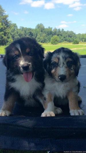 Australian Shepherd Puppies