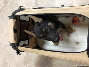 FREE 10 old German Shepherd Puppy to good Home