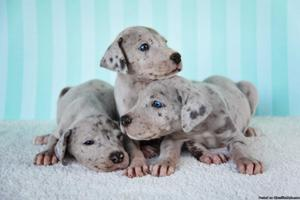 Registered Great Dane puppies!