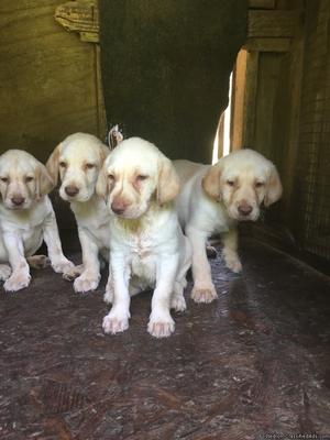 Cute C K C Labrador retrievers