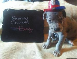 Akc great Danes 5 weeks old
