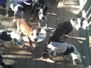 Free 9 1/2 week old puppys